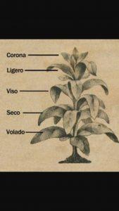 Các tầng lá khác nhau sẽ tạo ra độ nặng khác nhau cho điếu thuốc