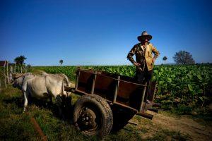 Chuẩn bị đất và gieo hạt trồng xì gà
