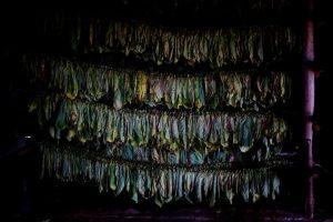Độ ẩm rất quan trọng trong quá trình lên men sản xuất xì gà