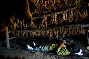 Lá thuốc lá được phơi khô trong nhà kho bằng gỗ