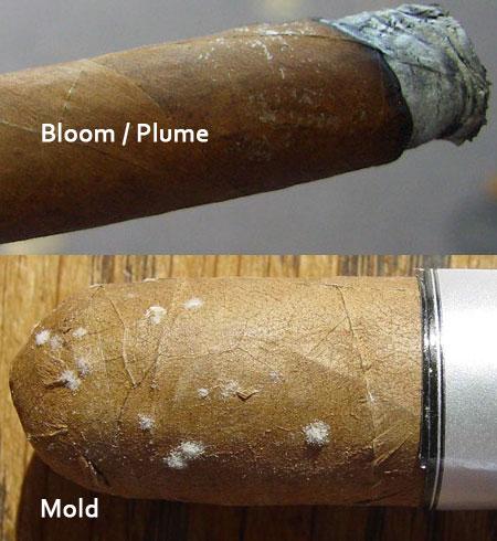 xì gà bị mốc hay lên tuyết